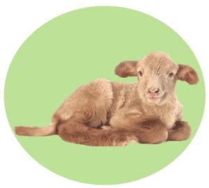 Personality Type - Lamb